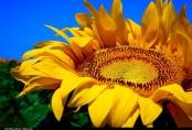 """""""Sunflowers"""" von Moyan Brenn auf flickr.com. Lizenz nach Creative Commons 2.0"""