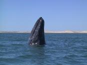 Das wundervollste Tier der Erde steigt aus dem Wasser. Man mag es gar nicht glauben, wie groß intelligentes Leben werden kann. Bild: A grey whale breaching in Magdalena Bay, Baja California, Mexico. Fotograf:  David Becker, geteilt über flickr.com. Lizenz: Creative Commons