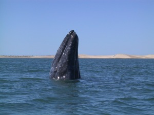 Das wundervollste Tier der Erde steigt aus dem Wasser. Man mag es gar nicht glauben, wie groß intelligentes Leben werden kann. Bild: A grey whale breaching in Magdalena Bay, Baja California, Mexico. Fotograf:  David Becker, geteilt über flickr.com. Lizenz: Creative Commons