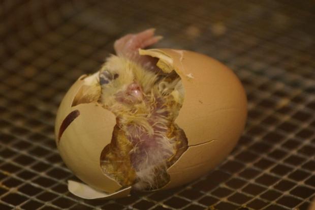 """Der Klassiker der Laienphilosophie: wer war zuerst da - Henne oder Ei? Bild: """"hatching"""" von grendelkhan via flickr.com. Lizenz: Creative Commons"""