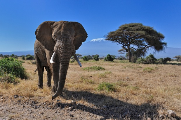 Endlich mal eine Gelegenheit, das tollste Tier der Welt zu zeigen: Ein Elefant im Amboseli National Park in Kenia. Bild von Diana Robinson via flickr.com. Lizenz: Creative Commons