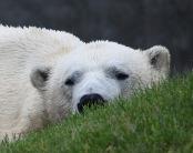 In Kanada sieht man die Sache mit den Kryptowährungen lockerer. Bild: Polar Bär in Toronto, von Rick Ligthelm via flickr.com. Lizenz: Creative Commons