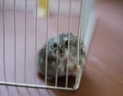 Dwarf Hamster: prison. Foto von xerayou via flickr.com. Lizenz: Creative Commons
