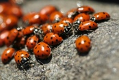 Ladybug Season. Foto von Sharon Mollerus via flickr.com. Lizenz:  Creative Commons
